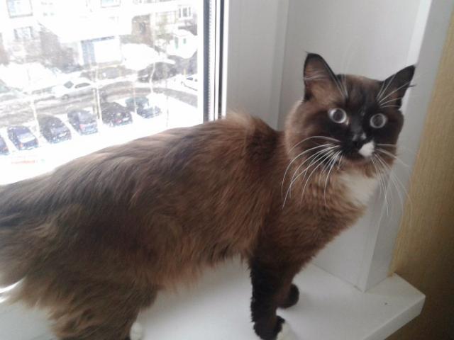 Отдам в дар: Голубоглазый котик Алфи в добрые руки фото2