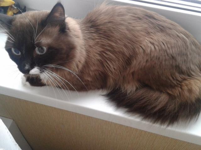 Отдам в дар: Голубоглазый котик Алфи в добрые руки фото3