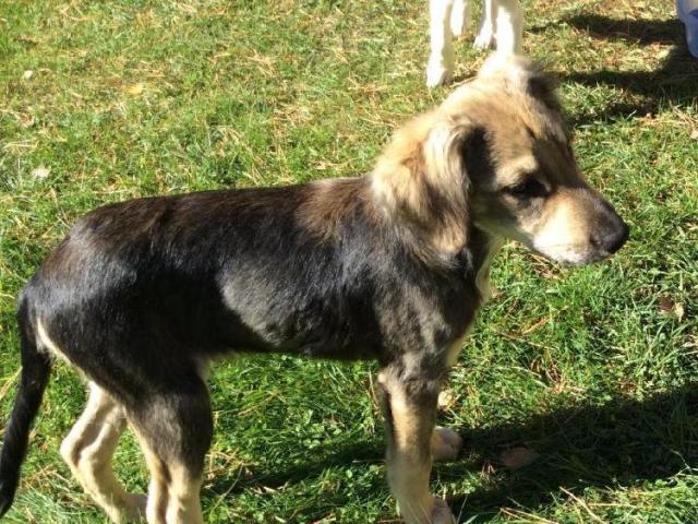 Отдам в дар: Любопытный щенок Пальм в добрые руки фото3
