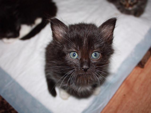 Отдам в дар: Котята в добрые руки фото3