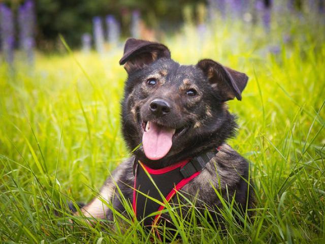 Отдам в дар: Трепетная собака Варя в добрые руки