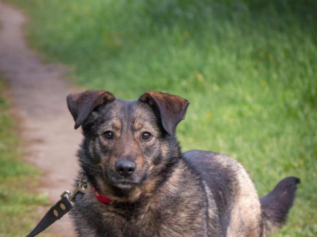 Отдам в дар: Трепетная собака Варя в добрые руки фото2