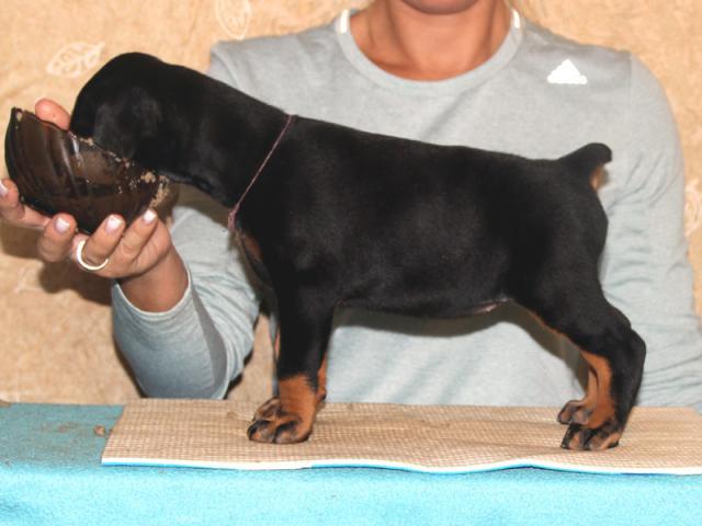 Продаю: Отличные щенки добермана фото2