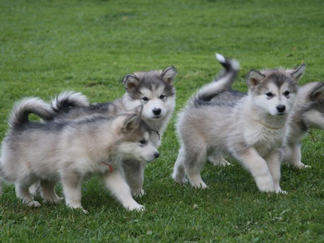 Продаю: Щенки Аляскинского Маламута фото2