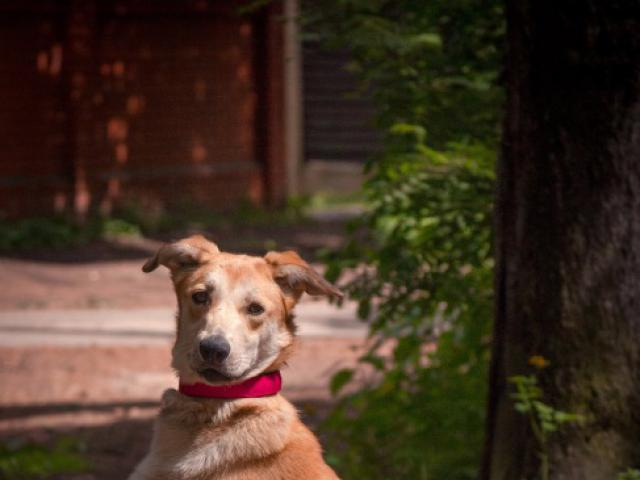 Отдам в дар: Изящная, красивая собака в добрые руки  фото3