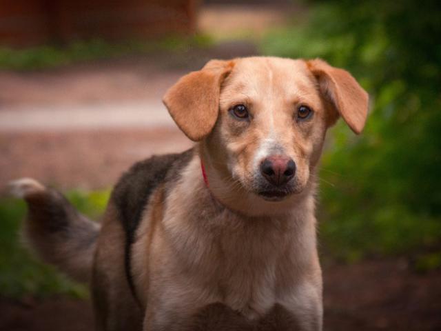 Отдам в дар: Необыкновенно милая собака Кэри в добрые руки фото2