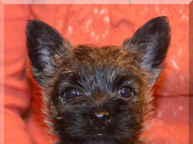 Продаю: Керн терьера щенки Очень симпатичные девочки фото2