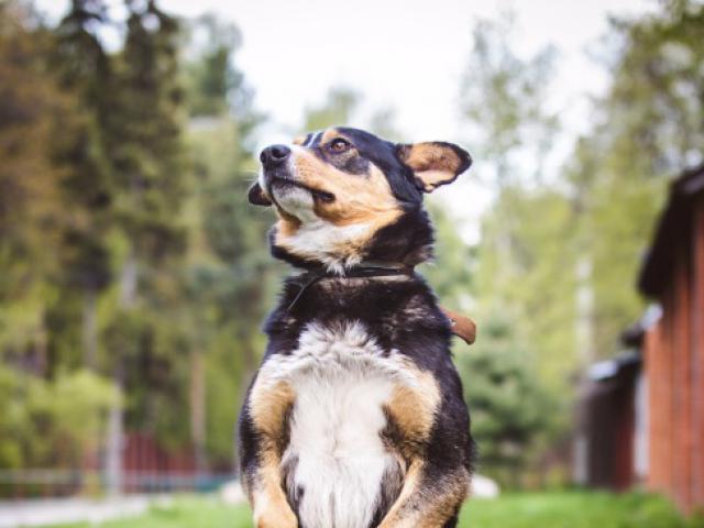 Отдам в дар: Красивый пес в добрые руки  фото3