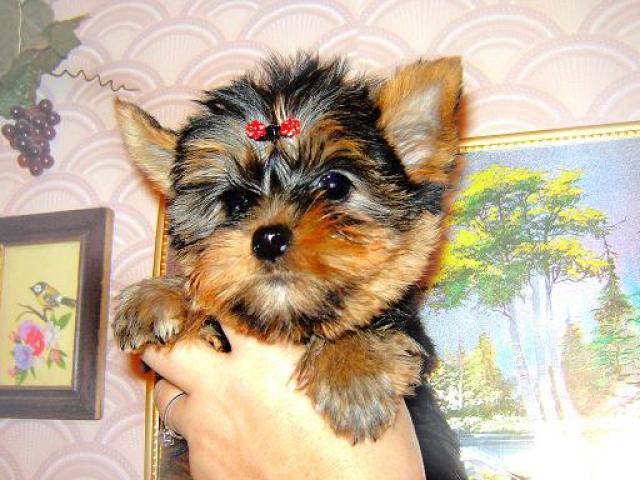 Продаю: Йоркширские терьеры щенки