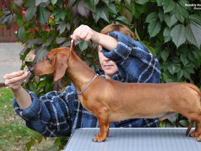 Продаю:  Рыжий щенок таксы стандартной гладкошерстной фото3