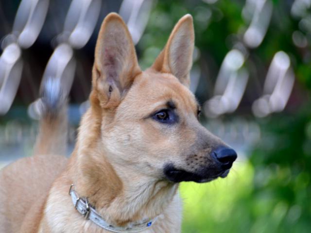 Отдам в дар: Очаровательный щенок Ася в добрые руки  фото3