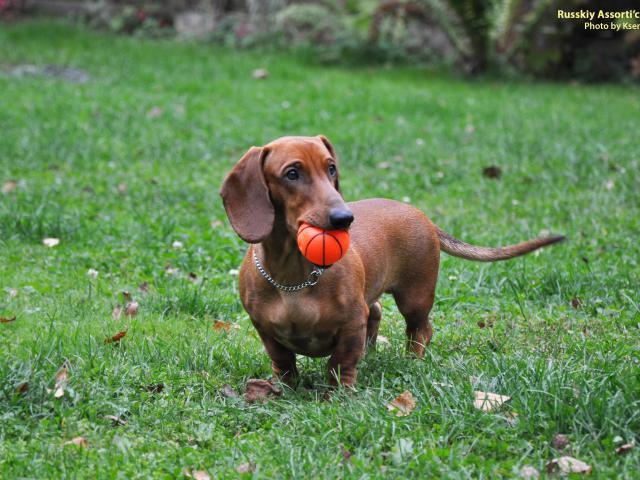 Продаю: Рыжий щенок таксы стандартной гладкошерстной фото2