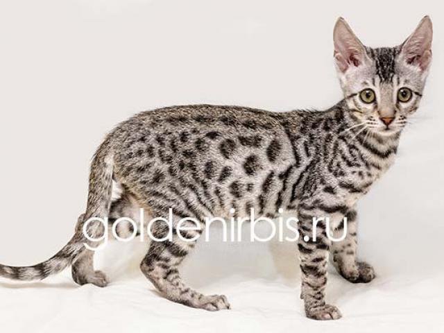 Продаю: Котята Саванны - серебристые домашние леопарды