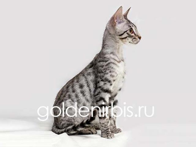 Продаю: Котята Саванны - серебристые домашние леопарды фото2