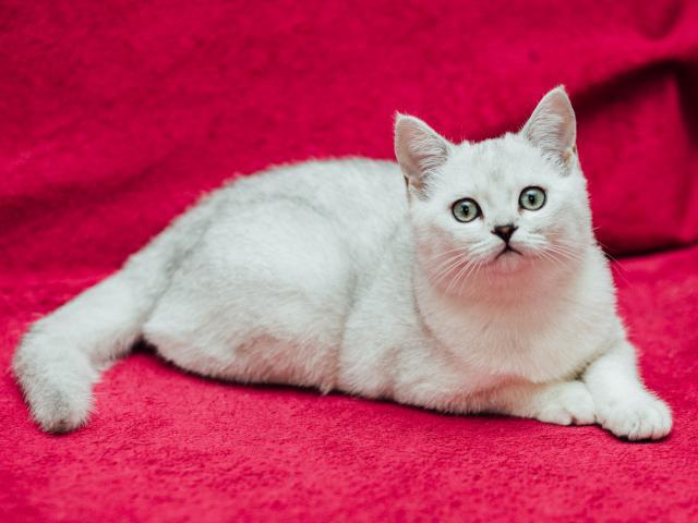 Продаю: Котик драгоценного окраса фото2
