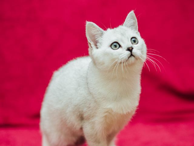 Продаю: Котик драгоценного окраса фото3