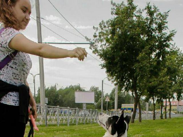 Отдам в дар: Метис лайки Ева ищет дом Щенок 6 мес фото3
