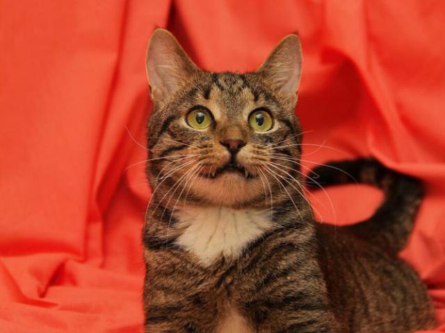 Отдам в дар: Настоящий кот Барон в добрые руки