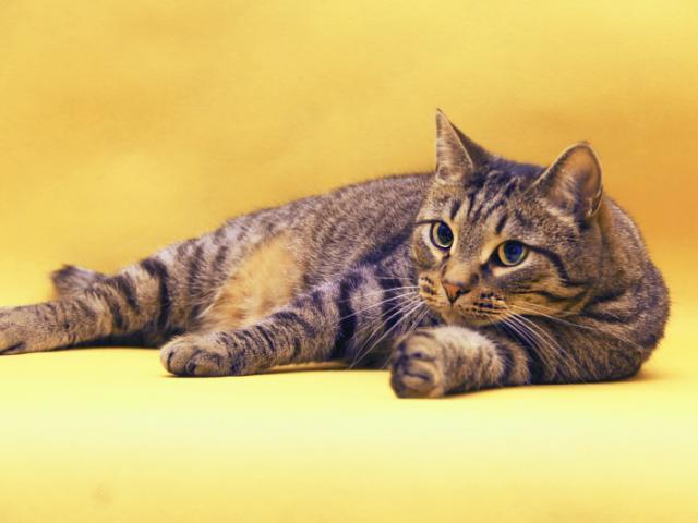 Отдам в дар: Василиус - Эрмитажный кот