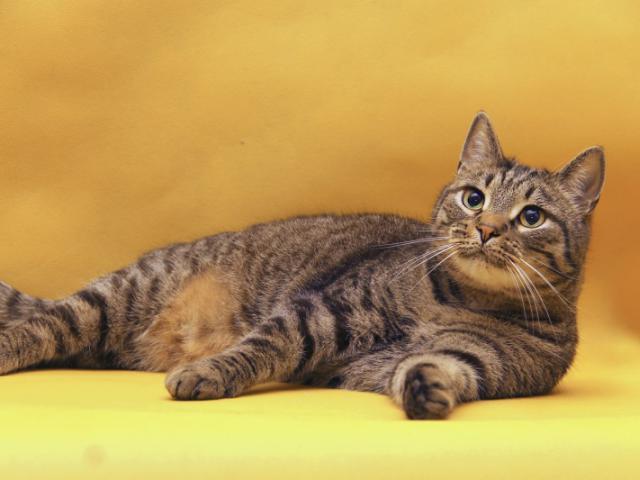 Отдам в дар: Василиус - Эрмитажный кот фото3