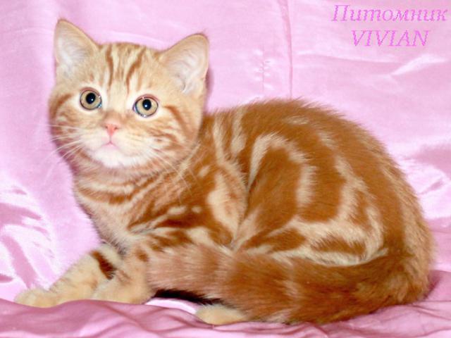 Продаю: Британские котики красный мрамор с документами