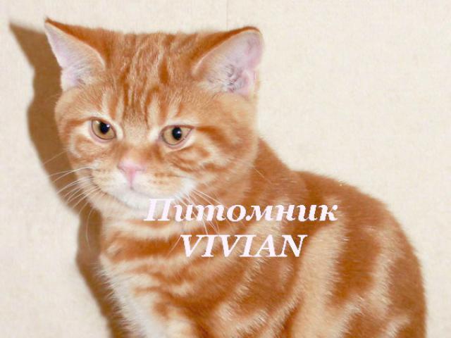 Продаю: Британские котики красный мрамор с документами фото2