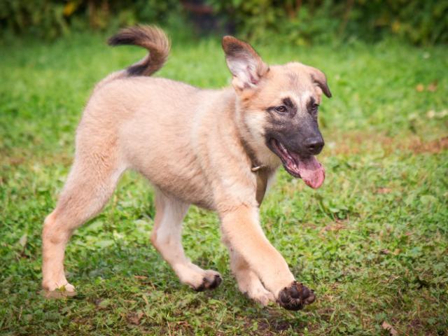Отдам в дар: Отдам в добрые руки трёхмесячных щенков  фото3