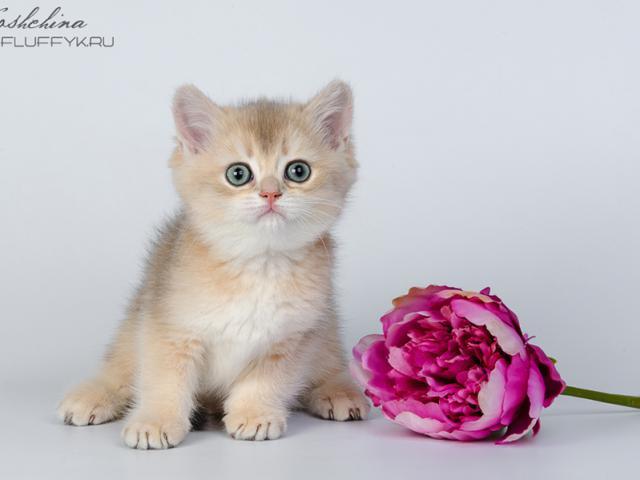 Продаю: Британские котята Голубое золото