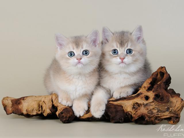 Продаю: Британские котята Голубое золото фото2