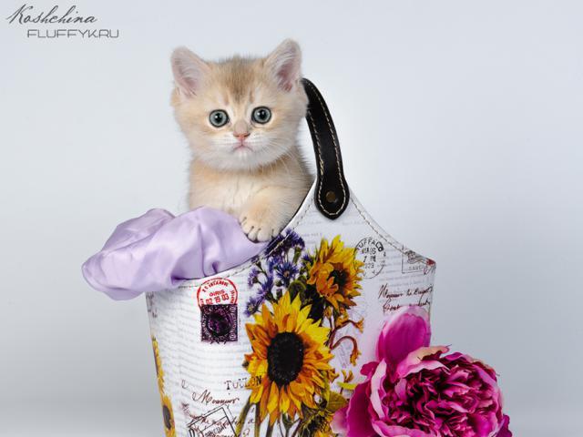 Продаю: Британские котята Голубое золото фото3