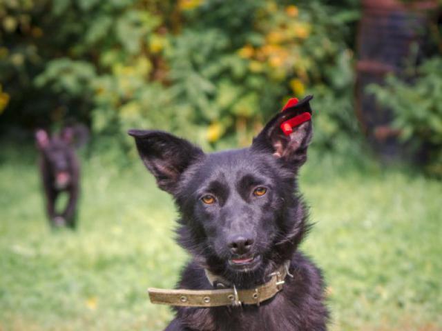 Отдам в дар: Отдам в добрые руки молодую собачку Дусю  фото3