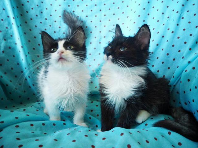 Отдам в дар: Котята Марсель и Маркиза ищут дом