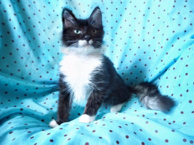 Отдам в дар: Котята Марсель и Маркиза ищут дом фото2