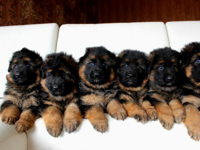 Продаю: Шикарные длинношерстные щенки немецкой овчарки