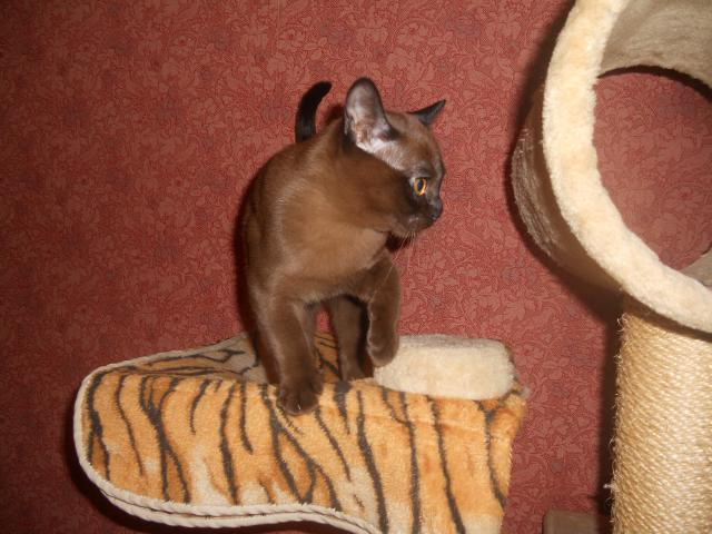 Продаю: Американская бурма Соболиный котёнок