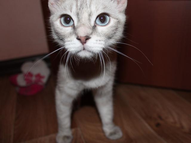 Отдам в дар: Сиамская кошка