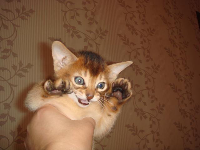 Продаю: Абиссинские котята фото2