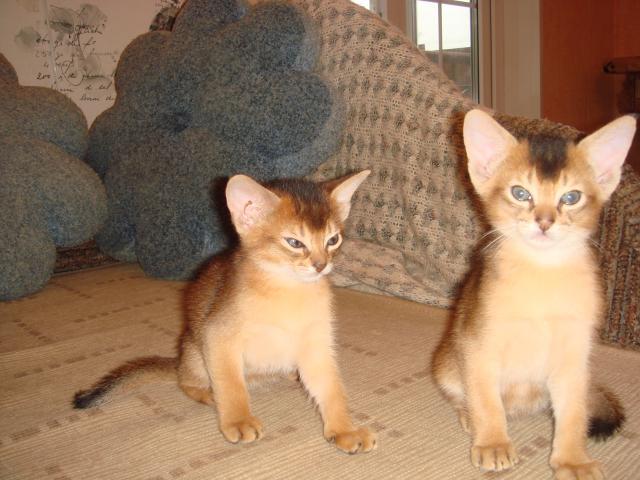 Продаю: Абиссинские котята фото3