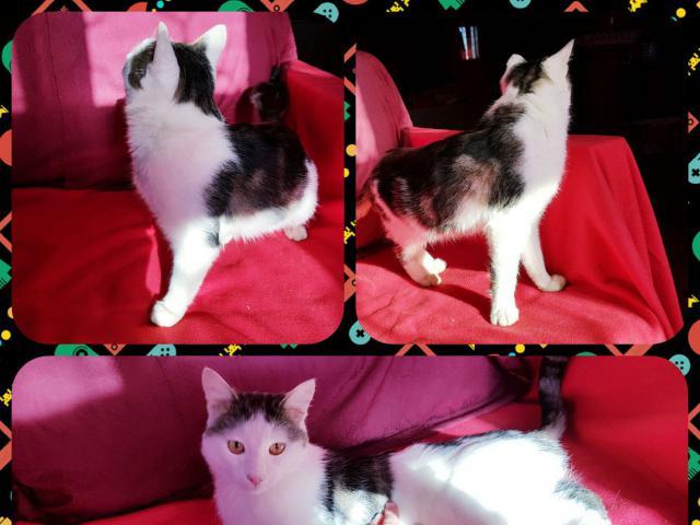 Отдам в дар: Волшебный котенок ориентального типа - бесплатно