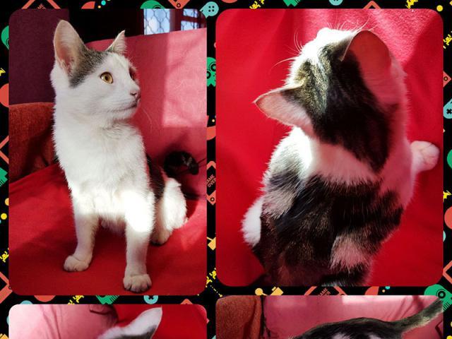Отдам в дар: Волшебный котенок ориентального типа - бесплатно фото2