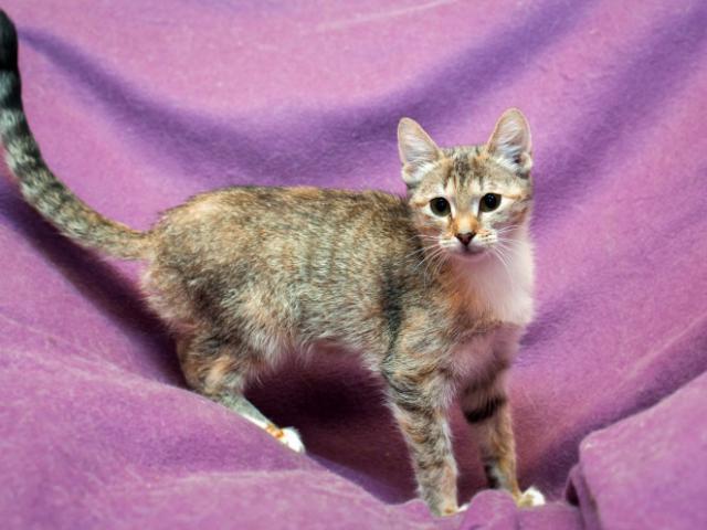Отдам в дар: Подрощенные котята в дар, в добрые руки фото2