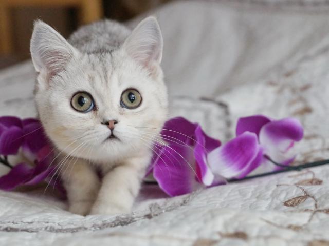 Продаю: Британские белоснежные котики