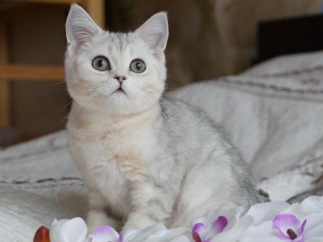 Продаю: Британские белоснежные котики фото2