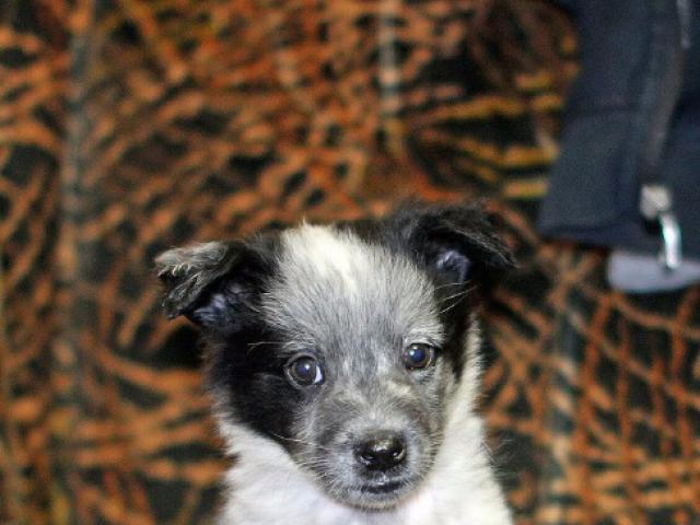 Отдам в дар: Очаровательные щенки в дар, в добрые руки  фото2
