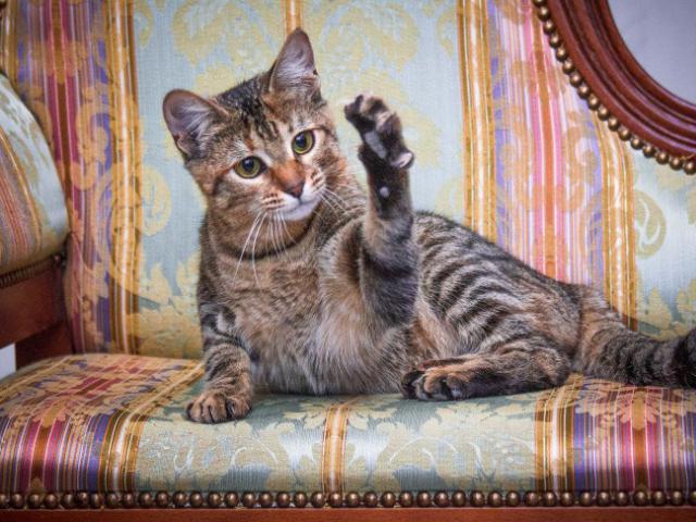 Отдам в дар: Чудесная кошка Софи в добрые руки