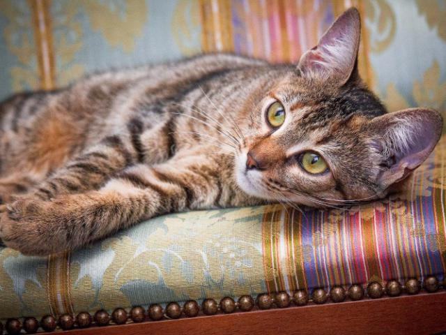 Отдам в дар: Чудесная кошка Софи в добрые руки фото2