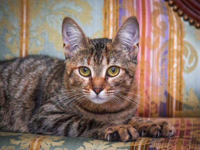 Отдам в дар: Чудесная кошка Софи в добрые руки фото3