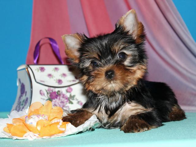 Продаю: Мини девочка йорка, щенок фото2