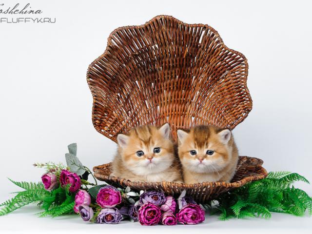 Продаю: Британские котята золотого окраса фото2