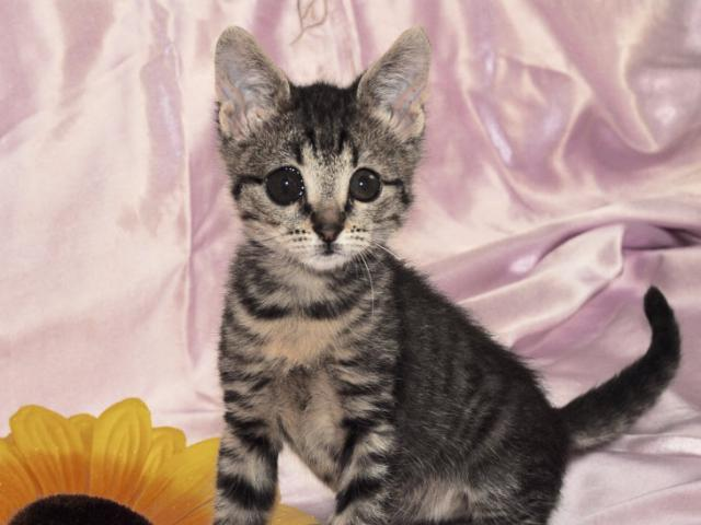 Отдам в дар: Нежный и милый котёнок ищет дом и самых лучших род